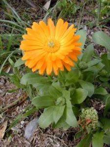 goudsbloem - marigold